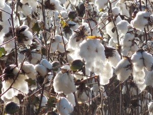 Cotton Field 2014