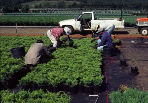 Workers are hand weeding container grown ornamentals