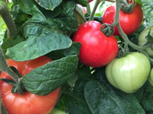 Cover photo for Vegetable Production Update-May 11th, 2018