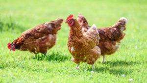 three brown chickens standing on grass