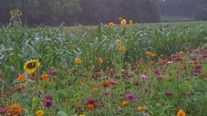 wildflower mixture in bloom