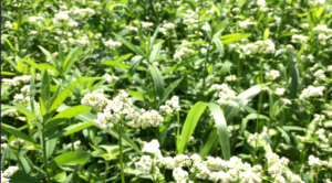 flowers within dense plant cover